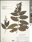 view Miconia acinodendron (L.) Sweet digital asset number 1