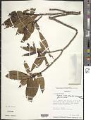 view Miconia ciliata (Rich.) DC. digital asset number 1