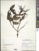 view Miconia minutiflora (Bonpl.) DC. digital asset number 1