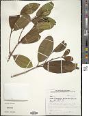 view Conostegia polyandra Benth. digital asset number 1