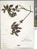 view Clidemia pycnaster Tutin digital asset number 1