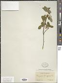 view Menziesia ferruginea Sm. digital asset number 1