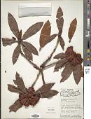 view Rhododendron barbatum digital asset number 1