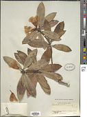 view Rhododendron irroratum Franch. digital asset number 1
