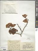 view Rhododendron caloxanthum Balf. f. & Farrer digital asset number 1