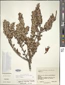 view Befaria resinosa Mutis ex L. f. digital asset number 1