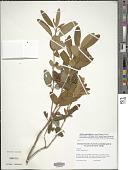 view Kalmia angustifolia L. digital asset number 1