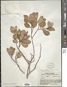 view Lyonia fruticosa (Michx.) G.S. Torr. digital asset number 1