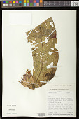 view Columnea gigantifolia L.P. Kvist & L.E. Skog digital asset number 1
