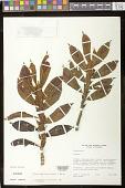 view Columnea dimidiata (Benth.) Kuntze digital asset number 1
