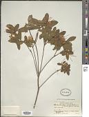 view Rhododendron scabrifolium var. pauciflorum Franch. digital asset number 1