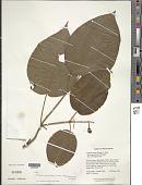 view Clidemia octona subsp. guayanensis Wurdack digital asset number 1