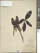 view Rhododendron campanulatum digital asset number 1