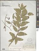view Leucothoë acuminata (Aiton) G. Don digital asset number 1