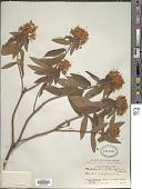 view Rhododendron scabrifolium var. scabrifolium digital asset number 1