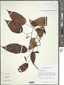 view Clidemia minutiflora (Triana) Cogn. digital asset number 1