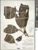 view Henriettea spruceana Cogn. digital asset number 1