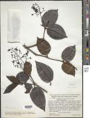 view Clidemia coriacea (Naudin) Cogn. digital asset number 1