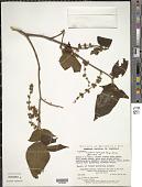 view Clidemia capitellata (Bonpl.) D. Don digital asset number 1