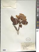 view Rhododendron balfourianum Diels digital asset number 1
