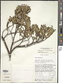 view Comarostaphylis polifolia subsp. minor (Small) Diggs digital asset number 1