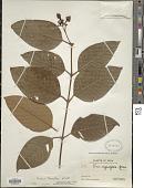 view Vismia baccifera subsp. subcuneata digital asset number 1