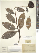 view Cavendishia nitens (Sleumer) Sleumer digital asset number 1