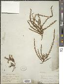 view Calluna vulgaris digital asset number 1