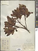 view Gaultheria forrestii Diels digital asset number 1