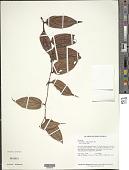 view Cavendishia callista Donn. Sm. digital asset number 1