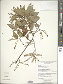 view Vaccinium leucanthum Schltdl. digital asset number 1