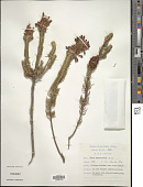 view Erica sessiliflora L. f. digital asset number 1