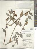 view Cavendishia guatapeensis Mansf. digital asset number 1