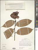 view Cavendishia cuatrecasasii A.C. Sm. in Cuatrec. digital asset number 1