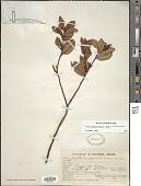 view Gaultheria serrata var. organensis (Meisn.) Luteyn digital asset number 1
