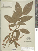view Lyonia ovalifolia (Wall.) Drude digital asset number 1