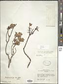 view Gaylussacia caparoensis Sleumer digital asset number 1