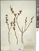 view Vaccinium atrococcum (A. Gray) A. Heller digital asset number 1