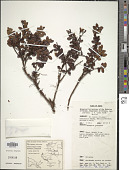 view Gaultheria mundula F. Muell. digital asset number 1