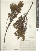 view Hypericum brathys Lam. digital asset number 1