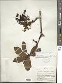 view Arbutus xalapensis Kunth digital asset number 1