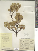 view Arctostaphylos parryana Lemmon digital asset number 1