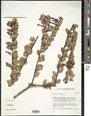 view Macleania floribunda Hook. digital asset number 1