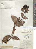 view Vaccinium racemosum (Vahl) Wilbur & Luteyn digital asset number 1