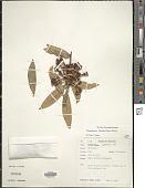 view Ceratostema loranthiflorum digital asset number 1