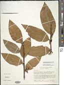 view Macleania rupestris (Kunth) A.C. Sm. digital asset number 1