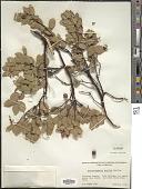 view Arctostaphylos mewukka Merriam digital asset number 1