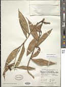 view Psammisia grandiflora Hoerold digital asset number 1