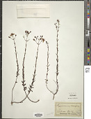 view Hypericum linearifolium Willd. digital asset number 1