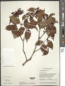view Vismia guianensis (Aubl.) Choisy digital asset number 1